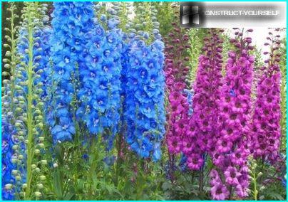 The pyramidal tower delphinium
