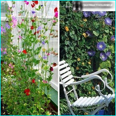 Annual sweet pea vines and morning glory