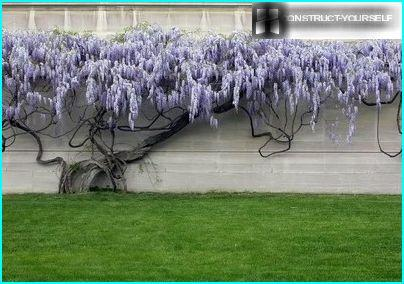 Powerful wisteria vines