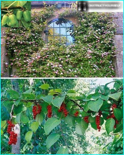 Flowering vines Actinidia and Schisandra