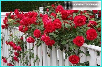 Dekorēts ar rozēm dekoratīvu žogu