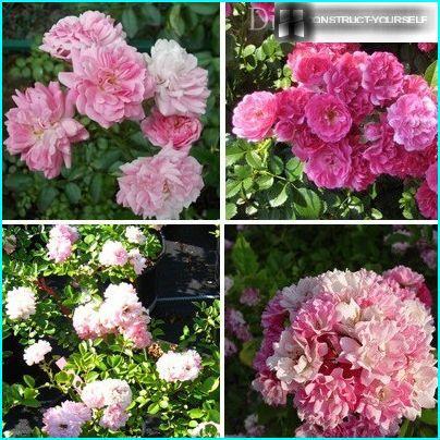 Skaisti šķirnes Rambler rozes