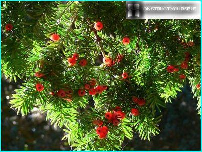 Thuja with berries