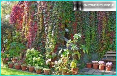 Krāsains nokrāsas savvaļas vīnogas lapām