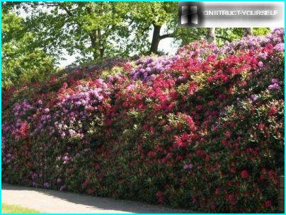 Fence of rhododendron and lilac