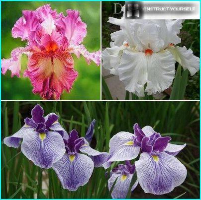 Fine skaists iris