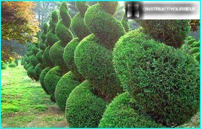 Coniferous hedges