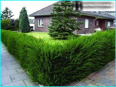 Hedge of conifers