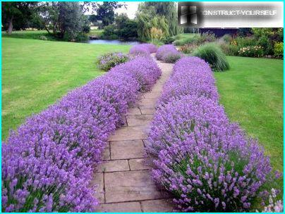 The border of lavender