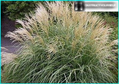 Decorative foliage of perennial grasses