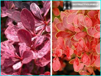 Ornamental varieties of barberry