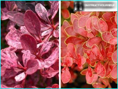 พันธุ์ไม้ดอกไม้ประดับของ Barberry