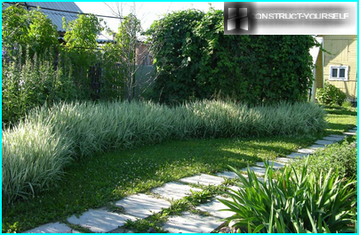 Decorative canary grass