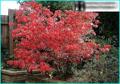 ฤดูใบไม้ร่วง euonymus