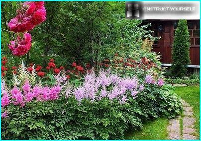 Helle berührt Astilbe im Blumengarten