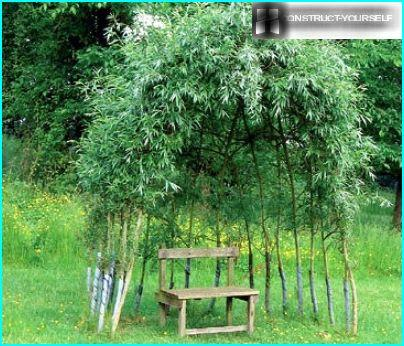 Arbour willow