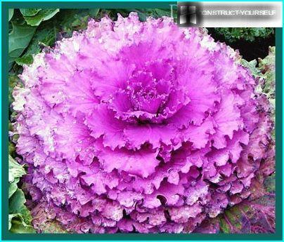 kā rožu
