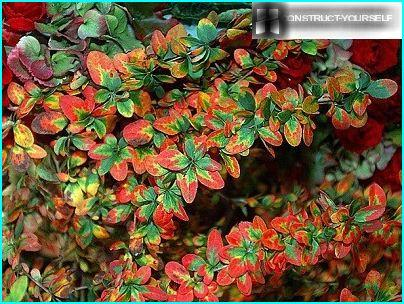 Barberry Amur