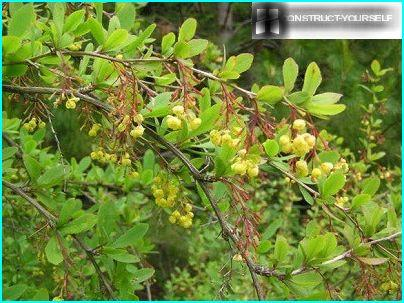 Canadian Barberry