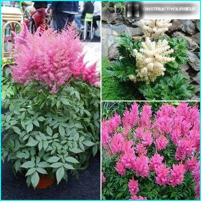 "The most decorative different varieties: ""Boogie Woogie"" with pink buds diamond shape, ""Gloria"" with openwork foliage and fluffy pink panicles, perennial dwarf ""Lilliput"" with inflorescences pinkish-salmon color"