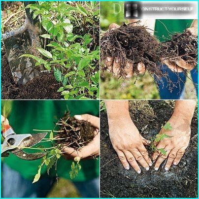 vegetative division bush