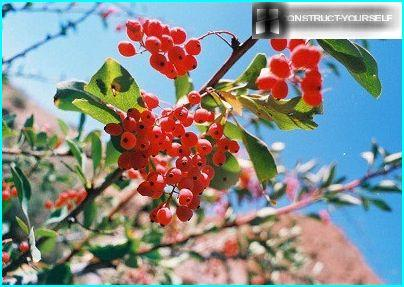 Barberry monetchaty