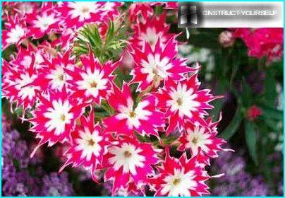 Wir Wachsen Phlox Wachst Aus Samen Fruhling Pflege Der Pflanzung