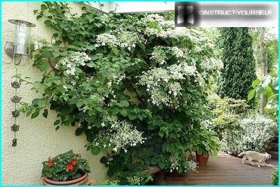 Hydrangea - vine