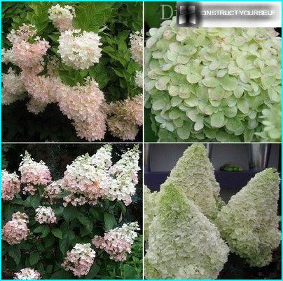 Hortenzijas paniculata 1.daļa