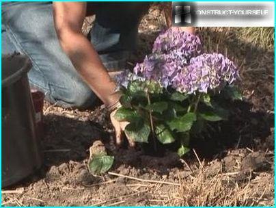Frühlingspflanzen Hortensien