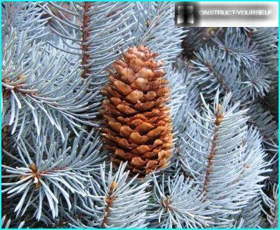 Cone blue spruce