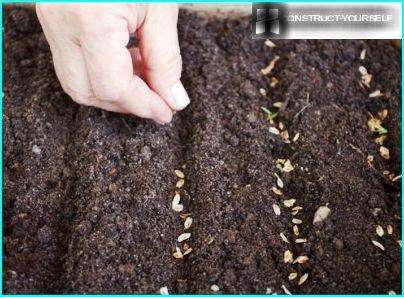 Planting seeds blue spruce