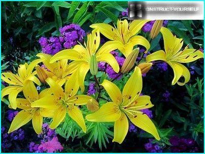 Lily - blühende Knollenpflanzen