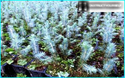 Blue spruce seedlings