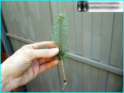 Germinated sapling spruce