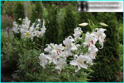 Lily on the background of conifers