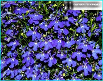 Flowering lobelia