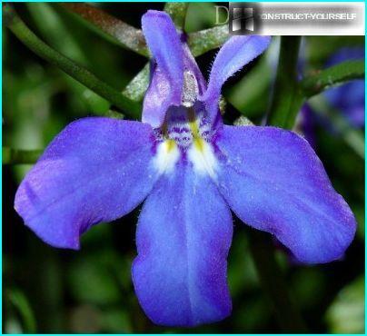 Blume blau Lobelia