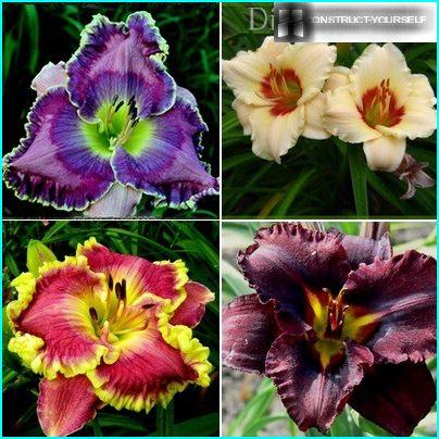 Beautiful daylily variety