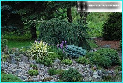 Rock garden with juniper