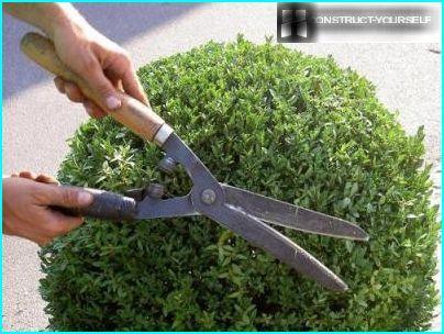Pruning Fichte