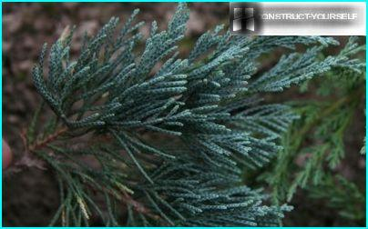 Blue juniper needles