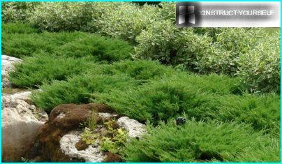 Horizontālās kadiķu šķirnes Plyumoza dārzs