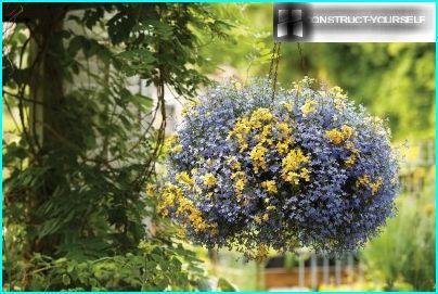 Blau Lobelia in einem hängenden Korb