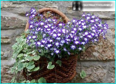 Wicker pots with lobelia