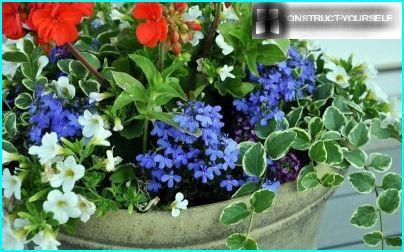 Lobelia in un vaso di fiori con pelargonium e petunie
