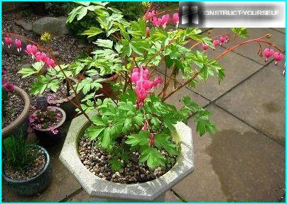 Dicentra in a flowerpot