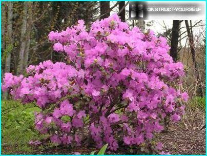 Rhododendron Mezitt