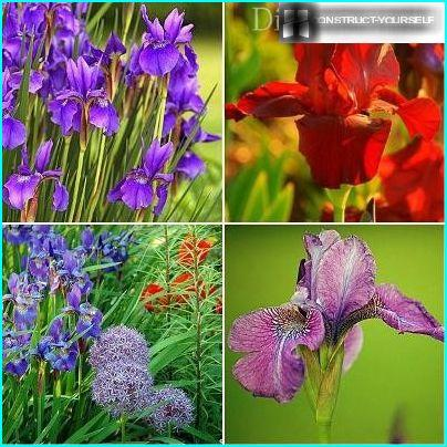 Cultivars of irises