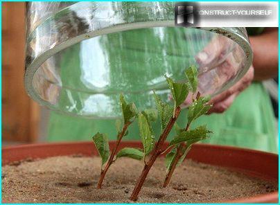 Planting spirea indoors